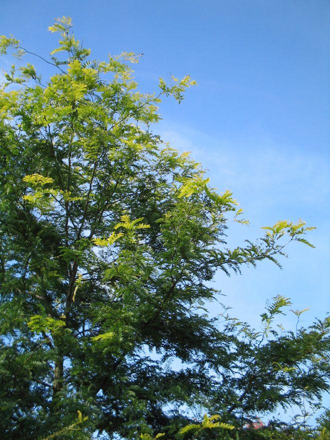 Gleditsia triacanthos 'Sunburst' (Valse Christusdoorn)