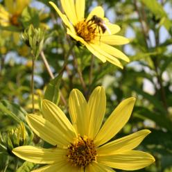 Helianthus 'Lemon Queen' - Zonnebloem