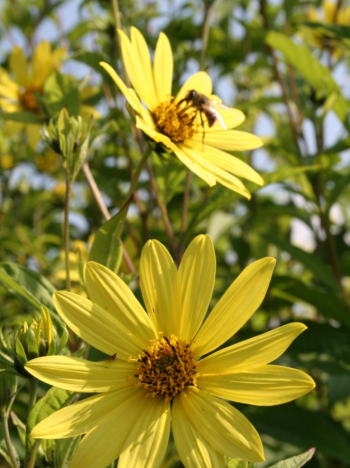 Helianthus 'Lemon Queen' - Zonnebloem
