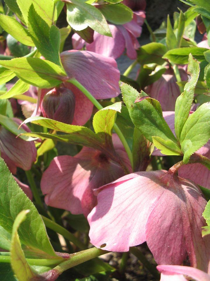 Helleborus orientalis 'Alfor' - Nieskruid, kerstroos