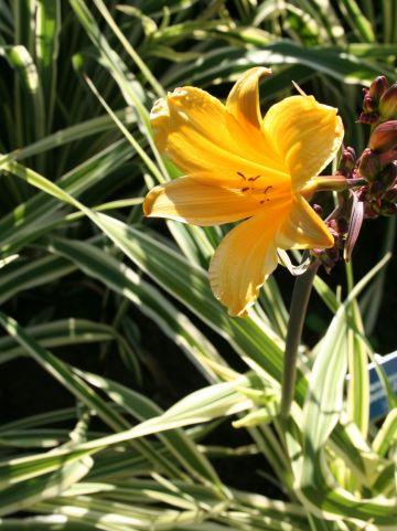 Hemerocallis 'Golden Zebra' - Daglelie