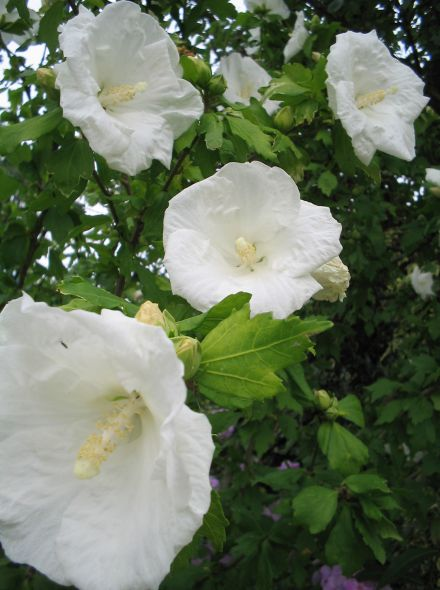 Hibiscus syriacus 'Totus Albus' (Altheastruik, Tuinhibiscus)