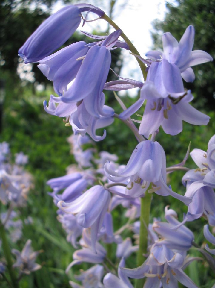 Hyacinthoides hispanica 'Blue Queen' - Spaanse boshyacint