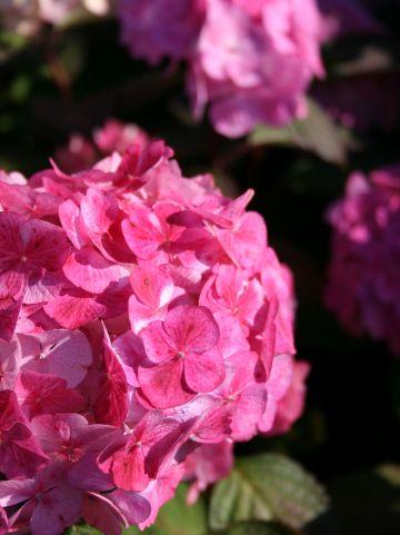 Hydrangea 'Preziosa' - Hortensia