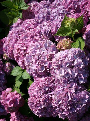 Hydrangea macrophylla 'Souvenir de Mme E Chautard' - Tuinhortensia