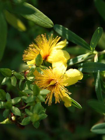 Hypericum kalmianum - Hertshooi