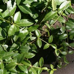 Vinca minor - Kleine maagdenpalm