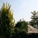 Ulmus hollandica 'Dampieri' - Goudiep