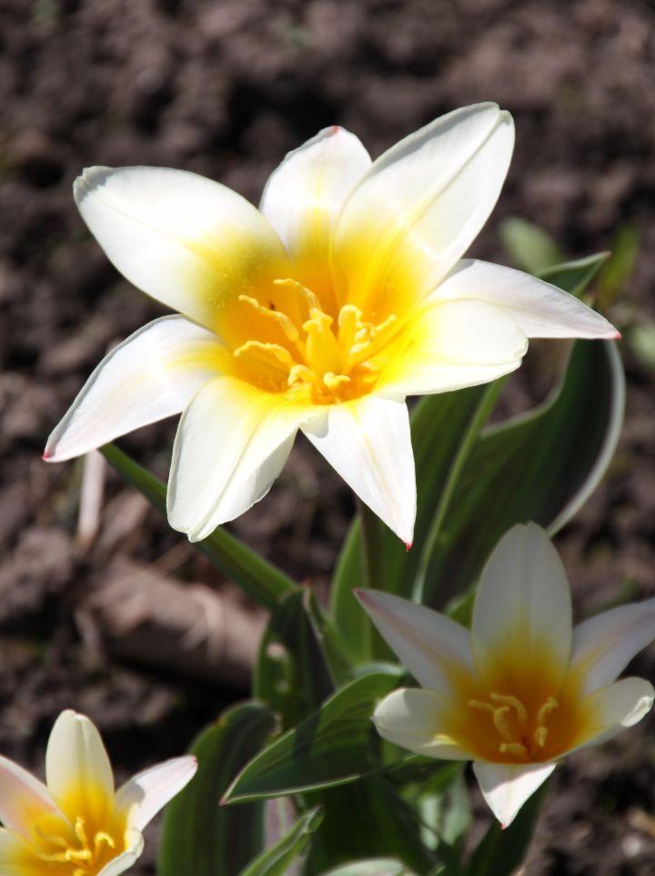 Tulipa kaufmanniana - Tulp