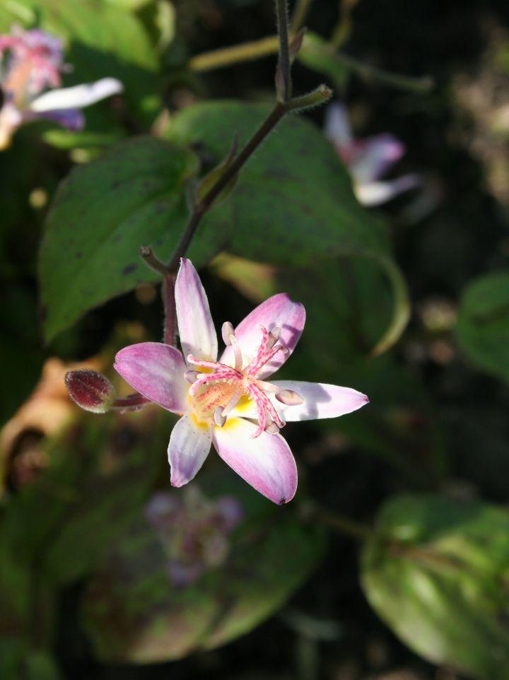 Tricyrtis hirta 'Tojen' - Paddelelie, armeluisorchidee