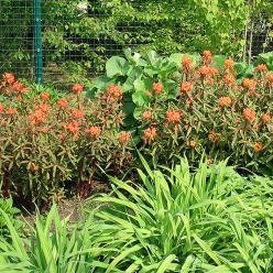 Euphorbia griffithii 'Fireglow' - Wolfsmelk
