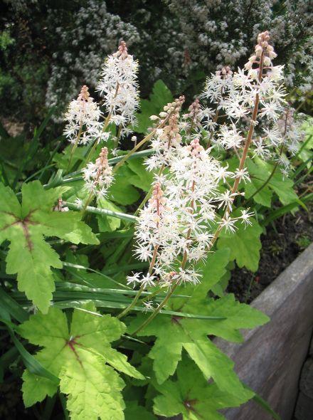 Tiarella cordifolia 'Iron Butterfly' (Perzische muts, schuimbloem, schuimkaars)