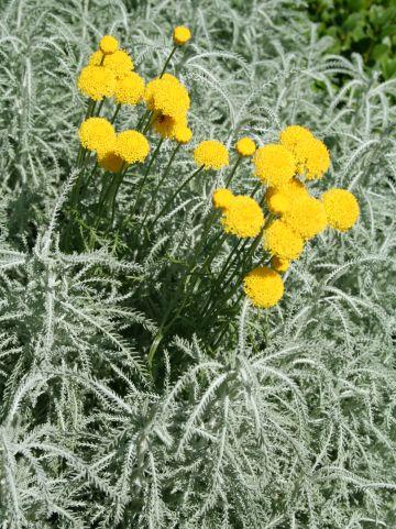 Santolina chamaecyparissus - Heiligenbloem, cypressenkruid
