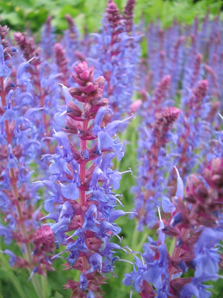 Salvia x sylvestris 'Blauhügel' - Salie