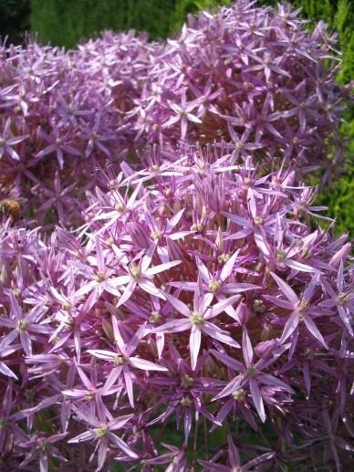 Allium 'Globemaster' - Sierui