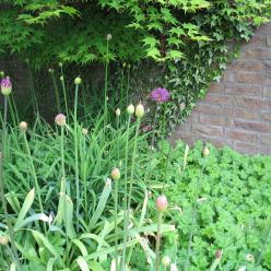 Allium 'Purple Sensation' - Sierui