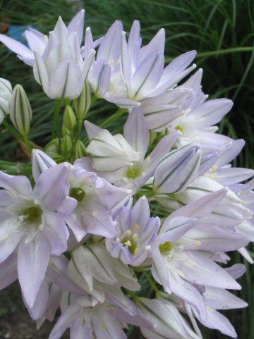 Allium tuberosum - Knoflookbieslook