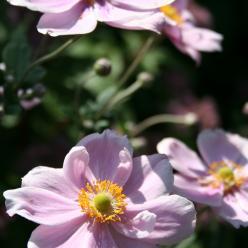Anemone 'Loreley' - Herfstanemoon