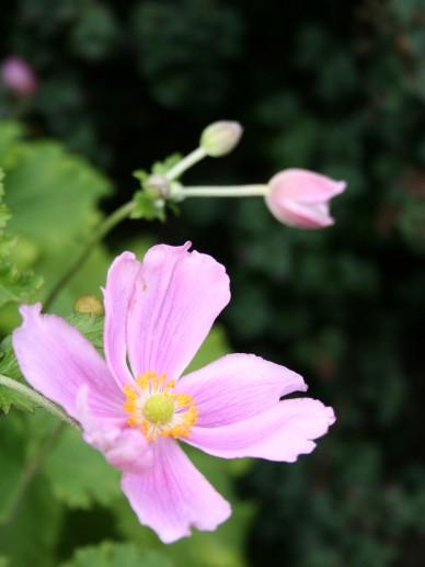 Anemone hupehensis 'Crispa' - Herfstanemoon