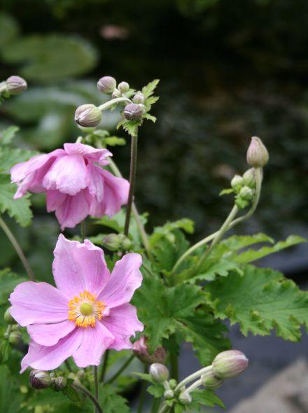 Anemone hupehensis 'Crispa' (Herfstanemoon)