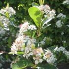 Aronia arbutifolia 'Brilliant' (Appelbes)