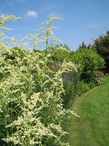 Artemisia lactiflora - Witte bijvoet