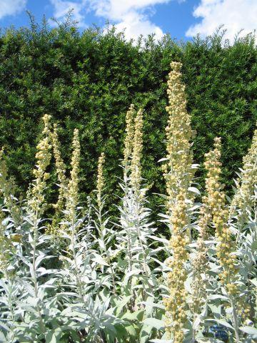 Artemisia ludoviciana 'Valerie Finnis' - Edelruit