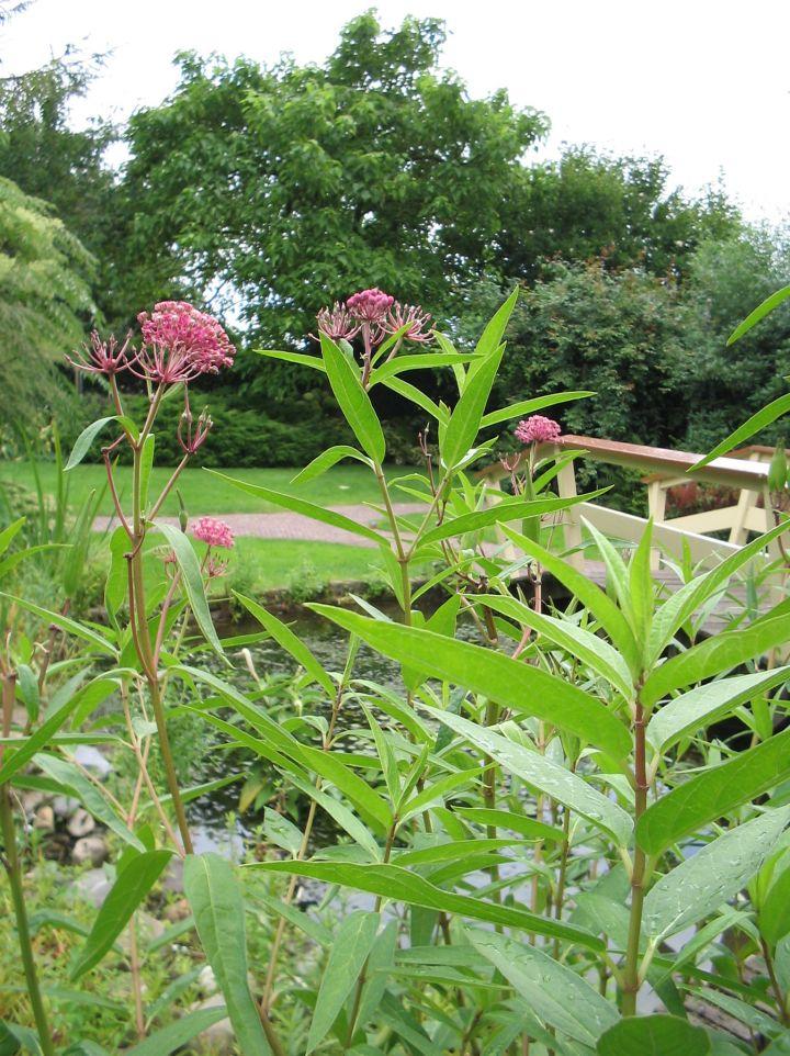 Asclepias incarnata - Rode zijdeplant