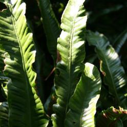 Asplenium scolopendrium - Tongvaren