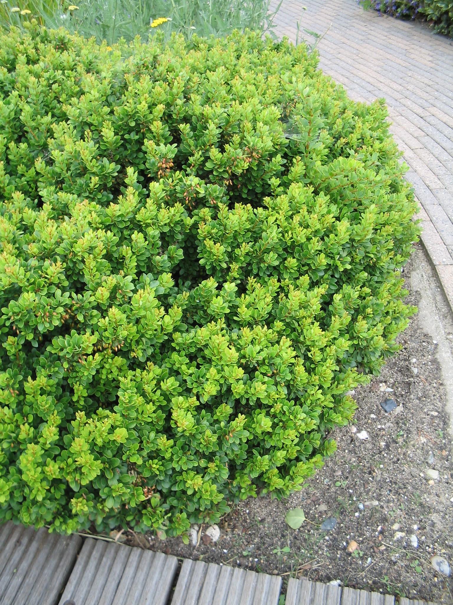 berberis buxifolia 39 nana 39 zuurbes de tuinen van appeltern. Black Bedroom Furniture Sets. Home Design Ideas