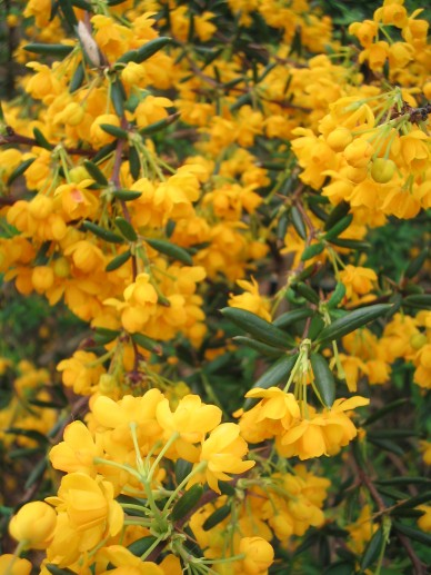 Berberis dictyophylla - Zuurbes
