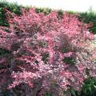 Berberis thunbergii 'Rose Glow' (Zuurbes)