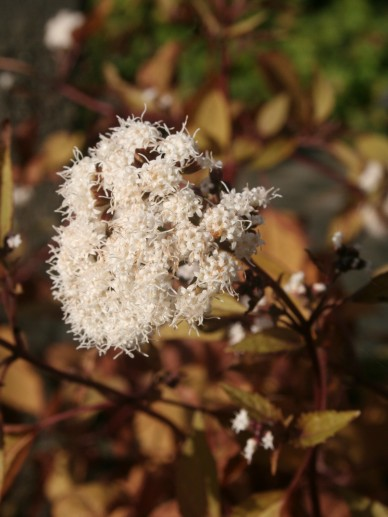 Eupatorium rugosum 'Chocolate' - Koninginnekruid