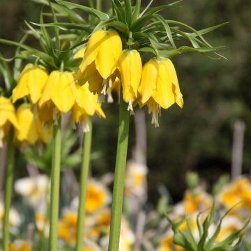 Hoe komt het dat Fritillaria imperialis (keizerskroon) zo moeilijk uitloopt?