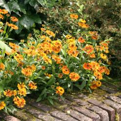 Helenium 'Waltraut' - Zonnekruid