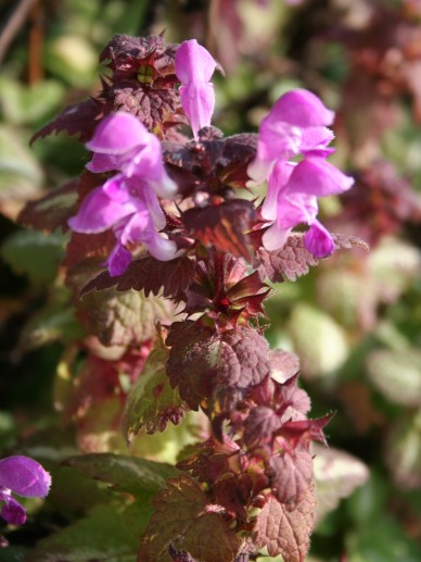 Lamium maculatum 'Chequers' - Gevlekte dovenetel
