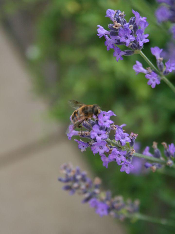 Lavandula angustifolia 'Dwarf Blue' - Lavendel