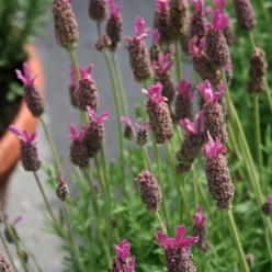 Lavandula stoechas 'Purple Emperor' - Kuiflavendel