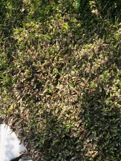 Leptinella squalida 'Platt's Black' - Koperknoopje