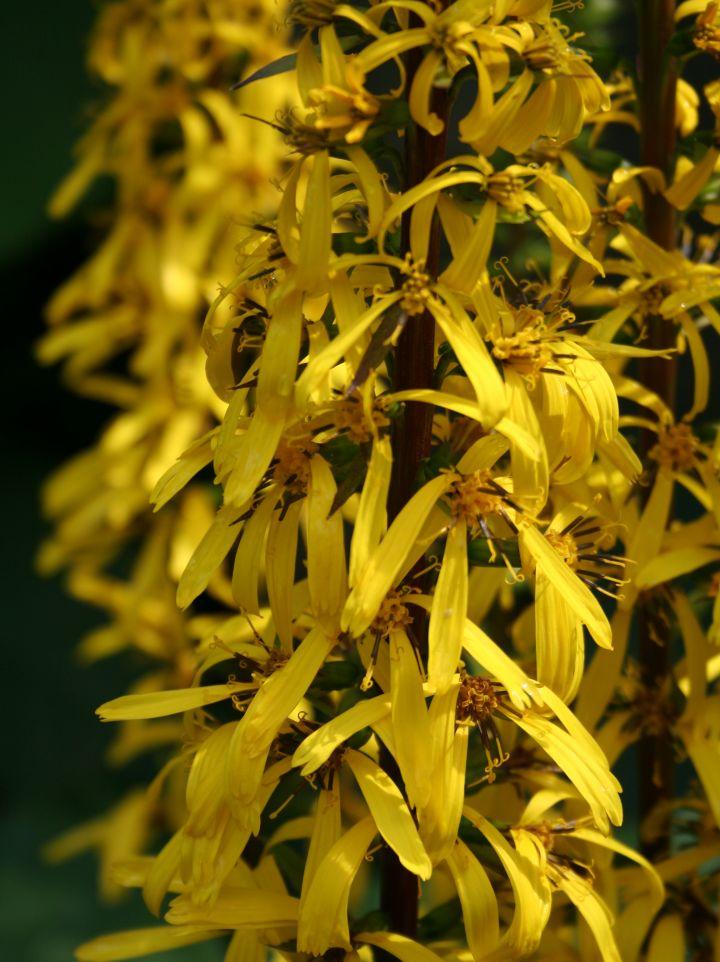 Ligularia przewalskii - Tongkruiskruid