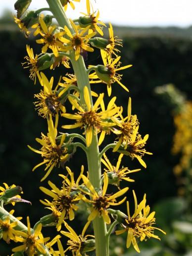 Ligularia veitchiana - Tongkruiskruid