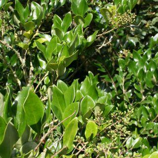 Ligustrum japonicum 'Texanum' (Japanse liguster meeneemhaag)