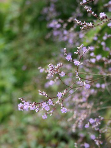Limonium latifolium - Lamsoor