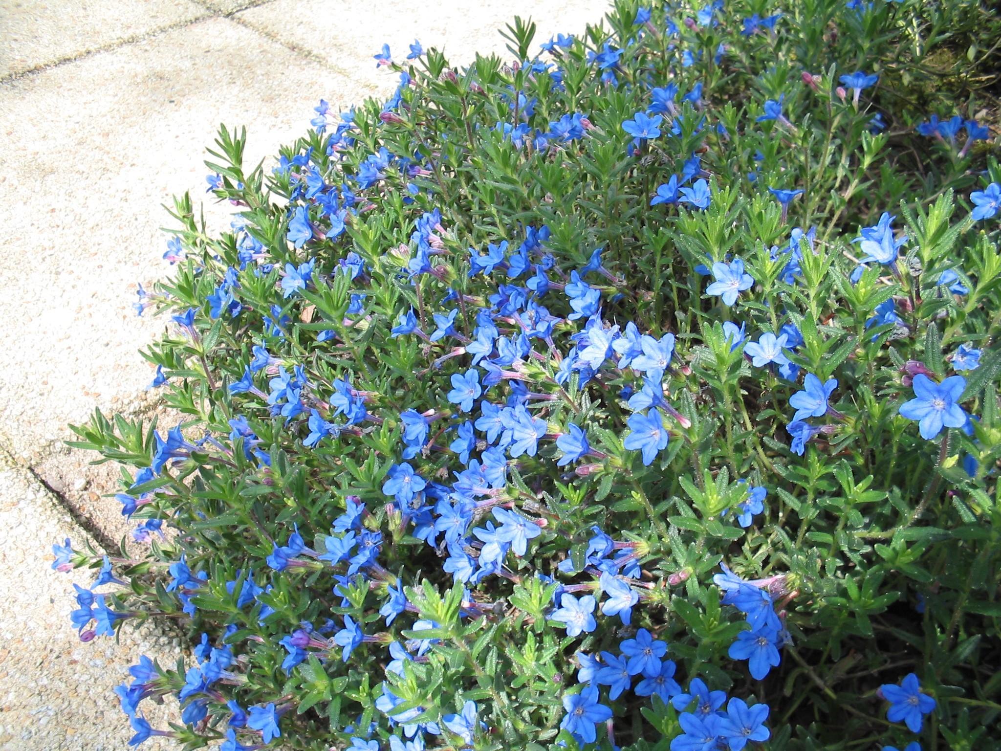 lithodora diffusa 39 heavenly blue 39 steenzaad parelzaad. Black Bedroom Furniture Sets. Home Design Ideas