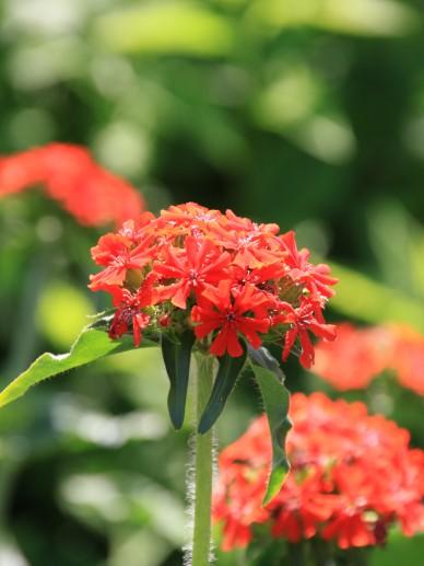 Lychnis chalcedonica - Brandende liefde