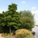 Magnolia kobus - Valse tulpenboom, beverboom