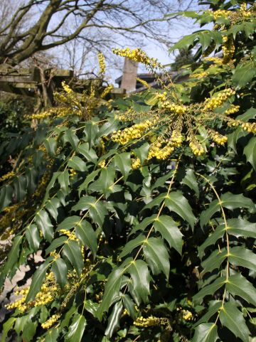 Mahonia japonica DC - Mahoniestruik