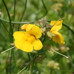 Mimulus luteus - Gele maskerbloem