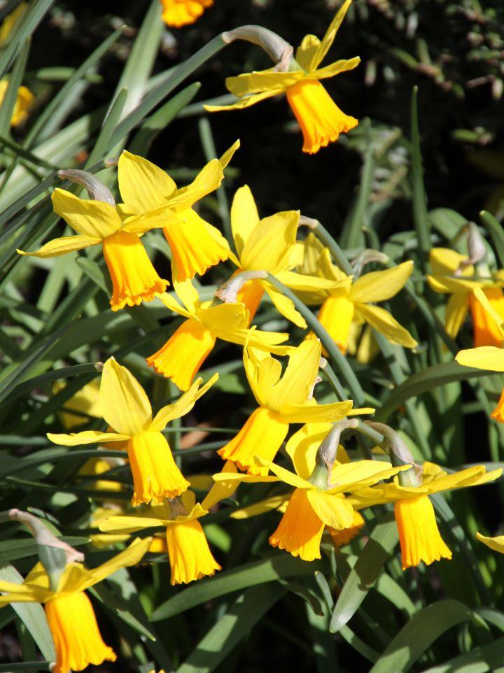 Narcissus 'Jetfire' - Narcis
