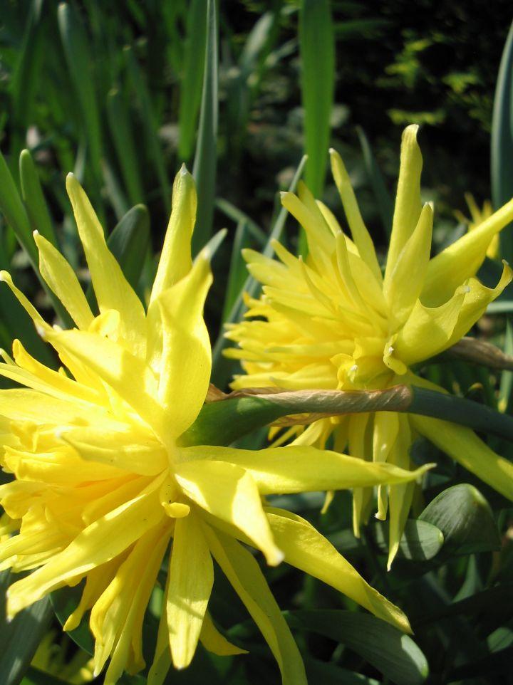 Narcissus 'Rip van Winkle' - (Dubbele) narcis